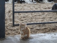 Kitten at the calf barn